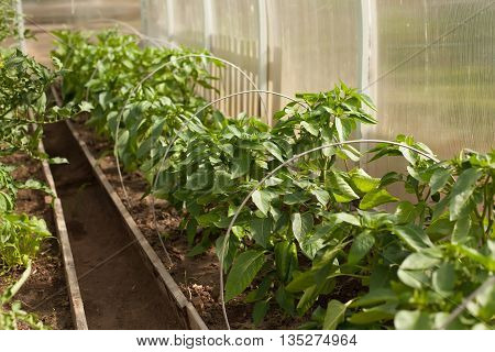 young green pepper growing on a branch in greenhouse