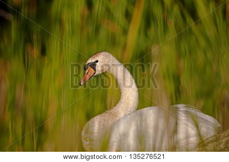 Interesting beautiful delicate image rapprochement mute swan (Cygnus olor) among the reeds on the pond on a sunny summer day. An interesting illustration or cover. Horizontal.