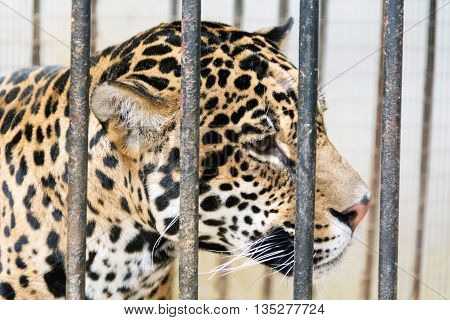 Photo of young leopard in cage at the zoo