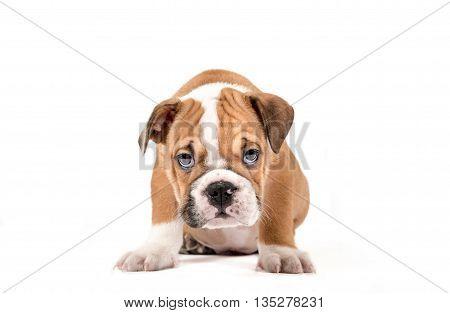 Portrait Of English Bulldog Puppy