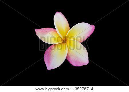 Isolated Single Beautiful Fresh Sweet Pink Yellow And White Flower Plumeria Or Frangipani On Plain B