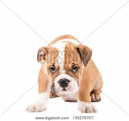 Little English Bulldog Puppy