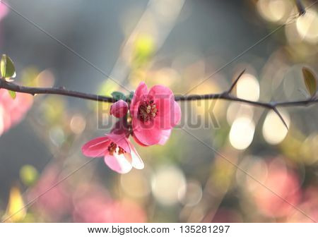 Chaenomeles japonica, beautiful pink flowers. Selestive focus