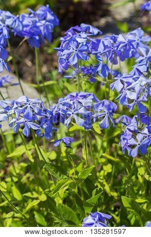 Decorative flower garden perennial Phlox divaricata. Flowering plant