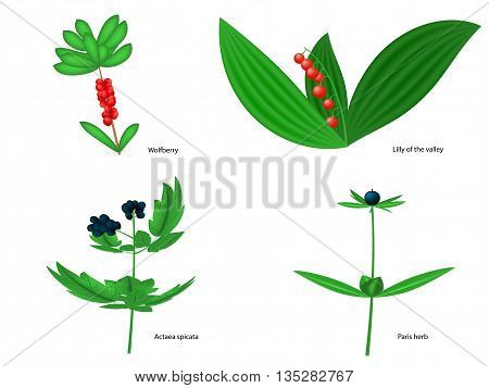 Vector illustration of forest poisonous berries with inscriptions. Isolated on white background.