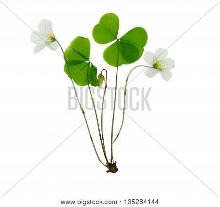 Pressed and dried delicate flower oxalis. Isolated on white background. For use in scrapbooking pressed floristry (oshibana) or herbarium.