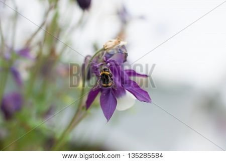 a bee collects pollen from bell on a light background