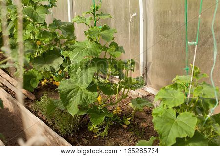 the cucumber plant is growing in a bright greenhouse