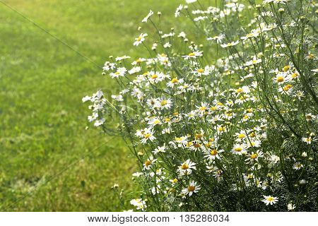 Vintage photo of chamomile flowers growing and blooming