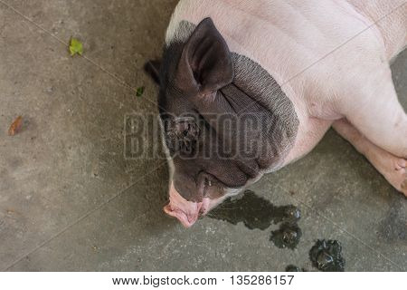 Sleeping pig on the floor top view. Selective Focus.