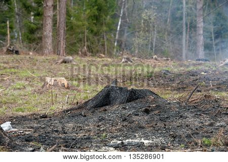 Stump and sawn wood of the burnt