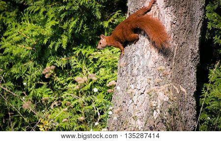 squirrel on the branch. Red squirrel. Small ginger squirrel in park. Close-up squirrel