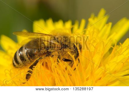 Bee on yellow flower collects nectar. Macro photo