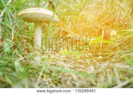 Mushroom boletus in the forest in the grass. Close-up. white mushroom grows in the woods.