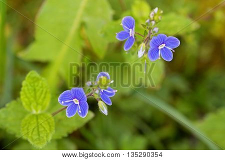Closeup of Germander Speedwell (Veronica chamaedrys) flower in blue purple blossoming in the garden in Austria, Europe during summer time