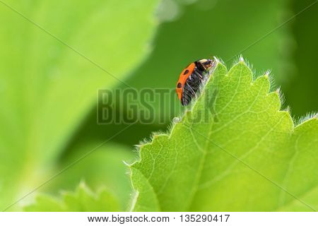 Red Ladybird, Ladybug (Coccinellidae) crawling on green leaf of Currant in the garden, in Austria, Europe during summer time