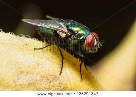 Macro photo of a green fly