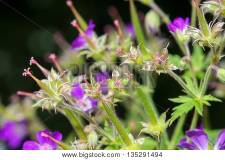 Delicate blue flowers of the meadow geranium ( Geranium pratense)