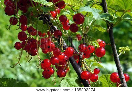 Branch of red currant with berries (Ribes rubrum)