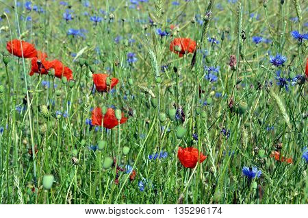 colorful meadow with poppys and corn and wildflower in summer