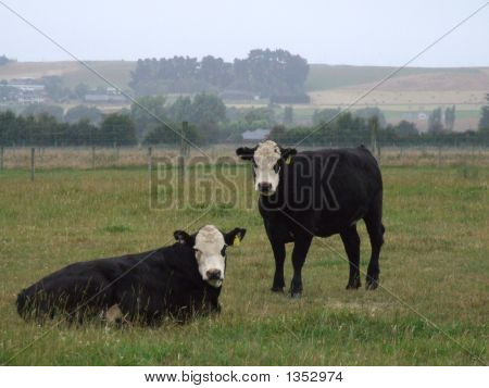 Two Cows With Misty Background