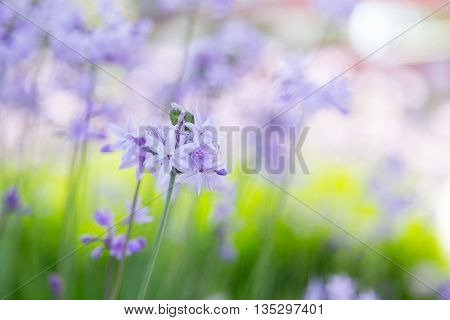 violet flowers in summer day on lawn for postcard or background