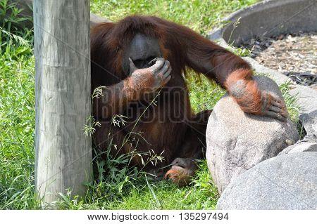 An Orangutan sitting in the green grass
