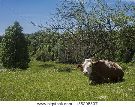 Cow taking a rest in a nature environment.