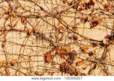 Climbing plant on orange wall in autumn