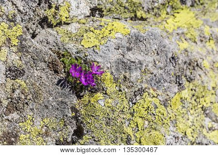 Primula minima L. species of plants of the family Primulaceae.