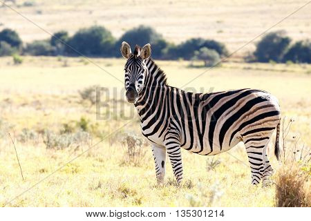 Stop Staring At Me - Burchell's Zebra