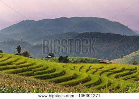 Landscapr of rice seedling on terrace rice fields