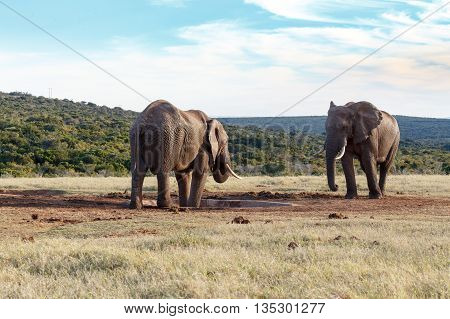 My Drinking Space - African Bush Elephant