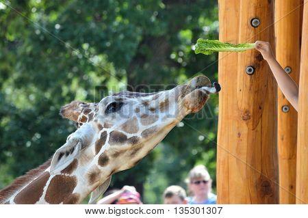 SAINT PAUL, MN - JUNE 10, 2016: Feeding the giraffe at the new feeding station at Como Zoo.
