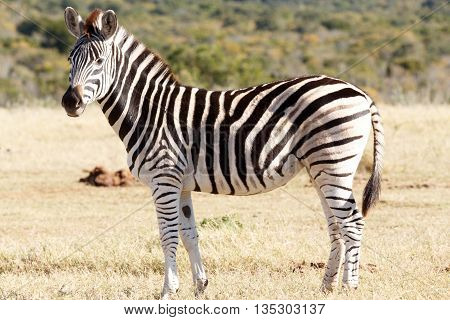 Looking Pretty - Burchell's Zebra
