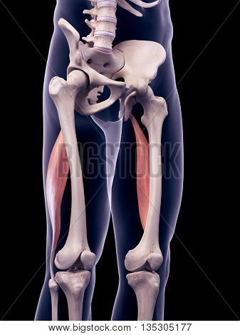 3d rendered, medically accurate illustration of the biceps femoris longus