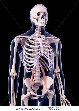 3d rendered, medically accurate illustration of the psoas minor