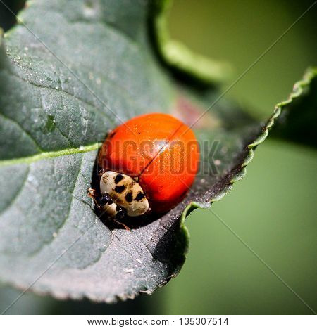 picture of a ladybird portrait on a leaf from above