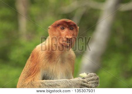 Proboscis monkey female, eating fruit