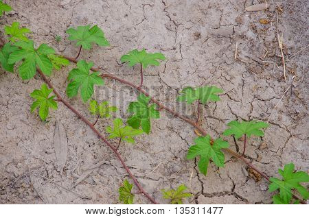 Ivy growing on dry ground without water