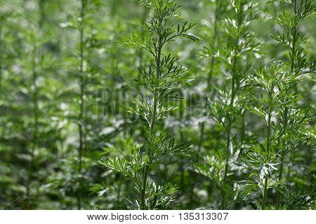 Leaves of absinthe wormwood plants (Artemisia absinthium)