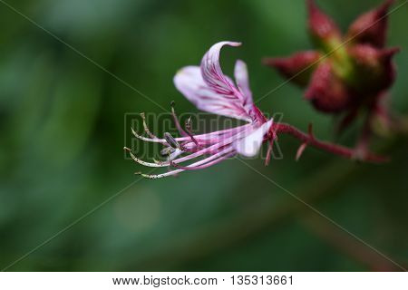 Flower of a burning bush (Dictamnus albus)