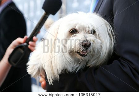 NASHVILLE, TN-SEP 1: Chris Isaak's Maltese dog, Rodney, attends the 9th Annual ACM Honors at the Ryman Auditorium on September 1, 2015 in Nashville, Tennessee.