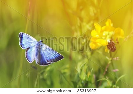a small blue butterfly flying toward the flowers and the sun on a summer meadow