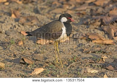 Red-wattled Lapwing in Kanha National Park in India
