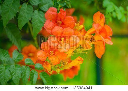 Orange Chinese Trumpet Vine Flower (Bignonia grandiflora Thunb.)