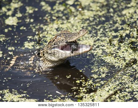 Baby American Alligator eating a small turtle