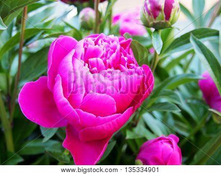 Bright Pink Peony, garden flowers, perennials, nature