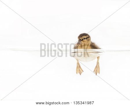 studio shot of a cute duckling swimming in water on an isolated white background