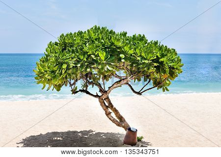 Small Ornamental Tree On The Beach With Horizon